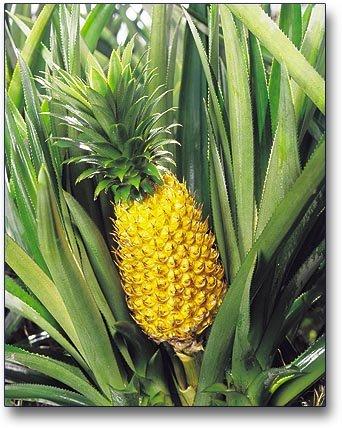 ananasmoorea1.jpg